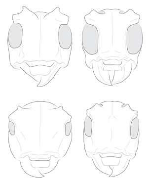 Onciderini head illustrations